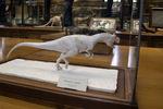 Sculpture d'un Allosaurus par Michel Fontaine pour la Galerie de Paléontologie du Muséum National d'Histoire Naturelle de Paris.